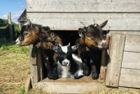 Feed the Pygmy goats